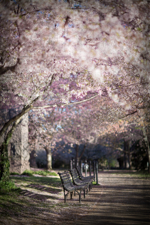 Cherry Blossom Path -Renata Grzan Wieczorek